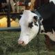 Mælkesyrebakterier til køer - brottrunk - fermentgetreide