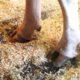 klovbad med fermentgetreide